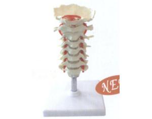Vertebra Cervical (YJ0154)