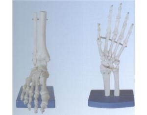 Life-Size Foot Joint