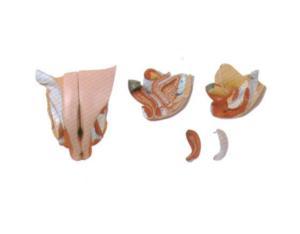 Female Genital Organ (GI2037-2)