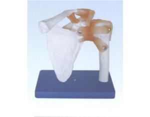 Life-Size Shoulder Joint