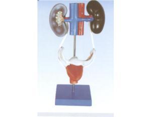 Female Urogenital System (YJ-332)