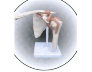 Shoulder Joint (YJ0251)