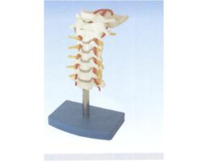 Cervical Vertebral Column with Neck Artery