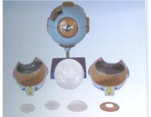 Giant Eye Model (YJ-316)