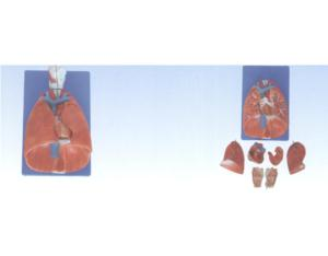 Larynx, Heart and Lung Model (YJ-320)